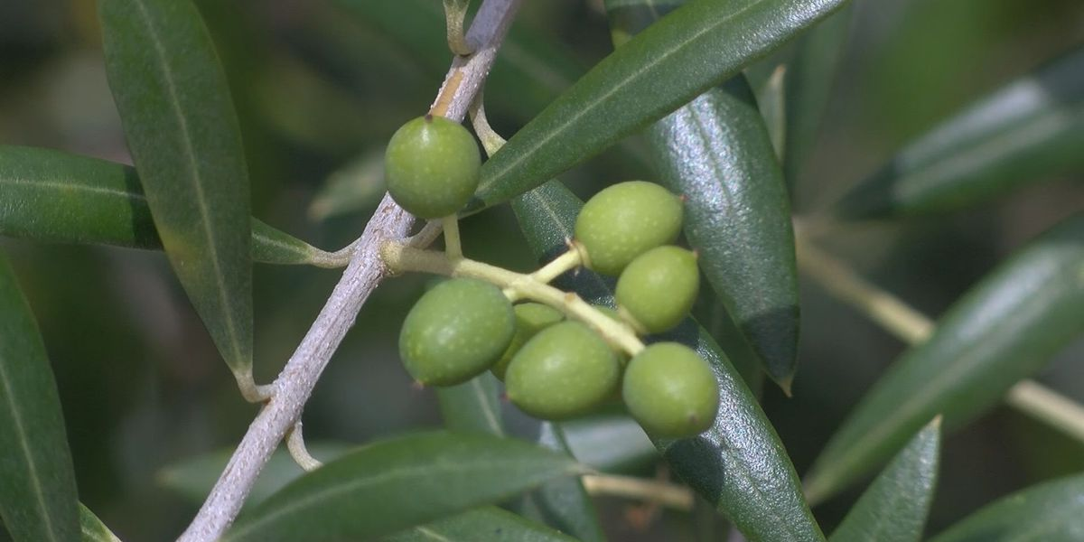 Proud to be a Farmer: Olives take off in Tattnall County
