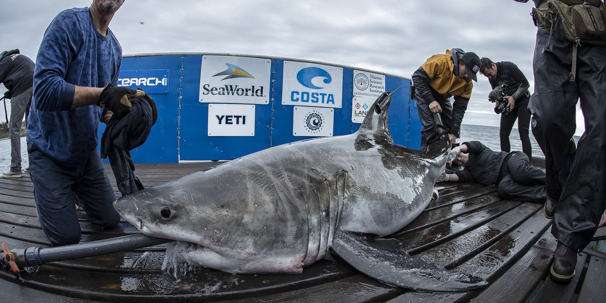 Ocearch tracks great white off Georgia's coast