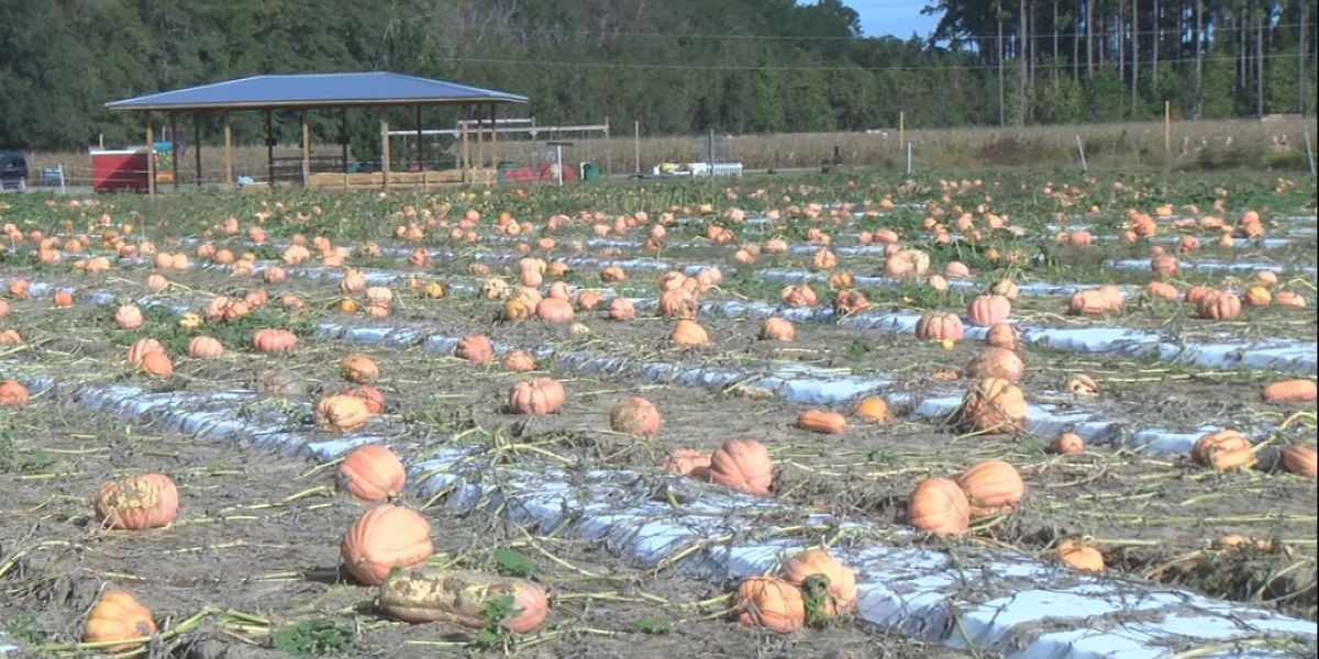 Rincon farm a hot spot for fall activities