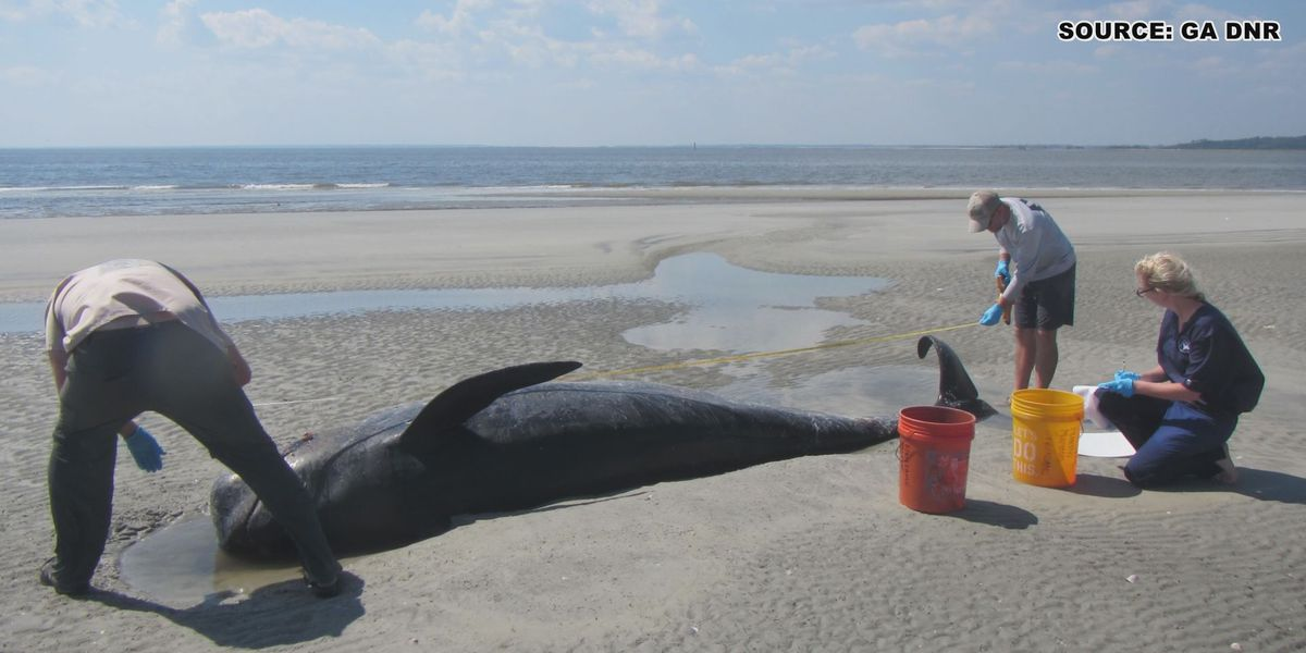 Scientists link 21 beached pilot whales dead in Georgia, SC