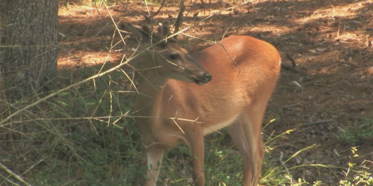 Hilton Head Island neighborhood votes against deer culling