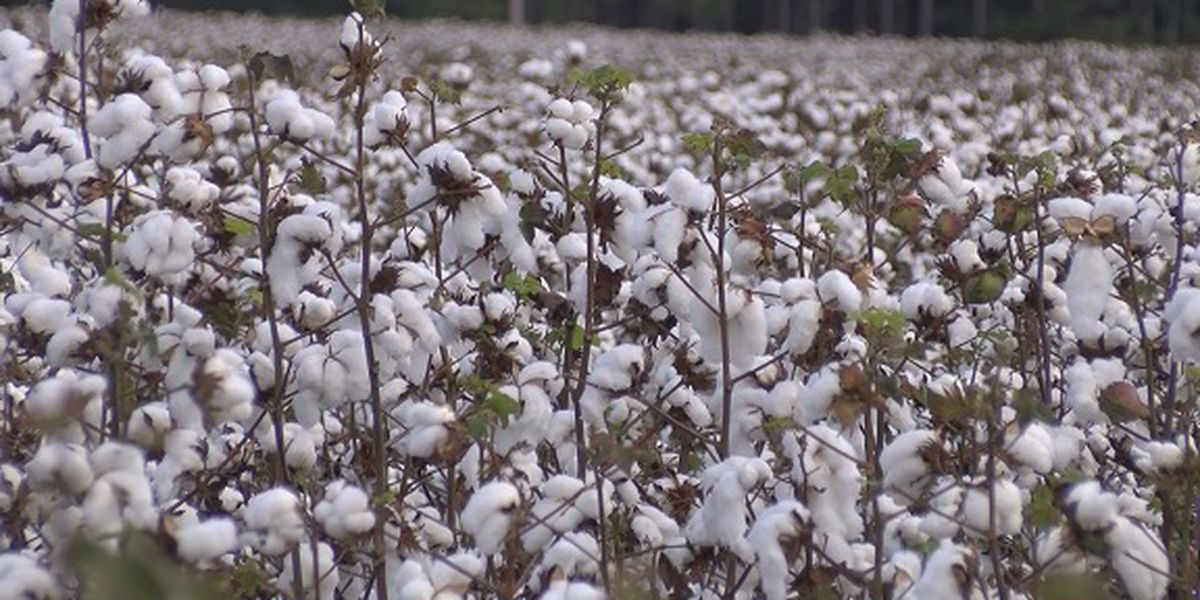 Cotton farmers nervous about potential weather impact