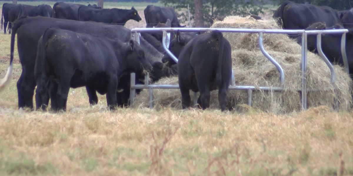 Dry conditions affecting livestock's food supply