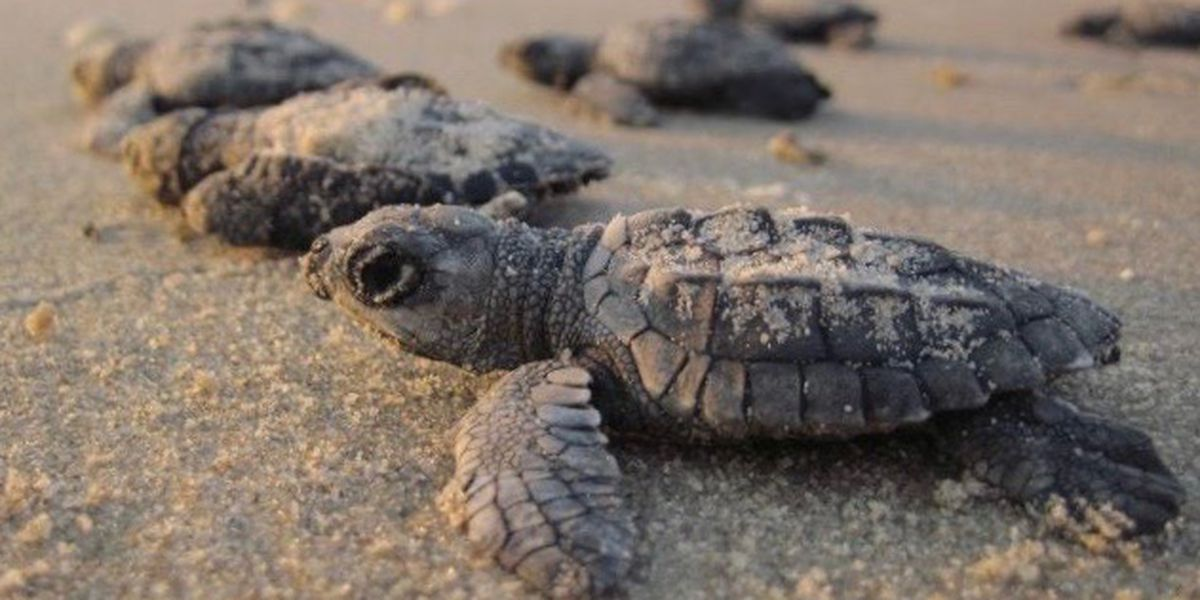 Lights out for sea turtles on the beach