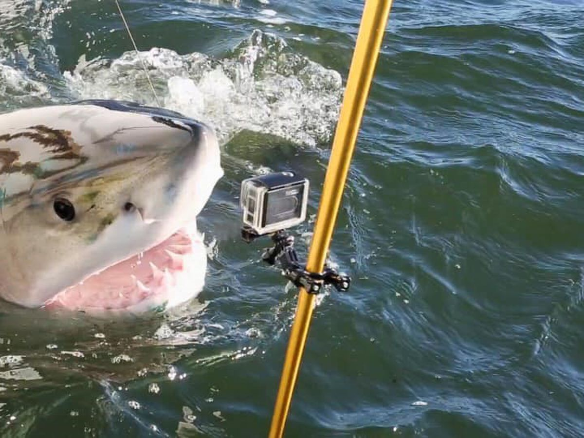 Lowcountry man helps researchers by catching great whites off S.C. coast