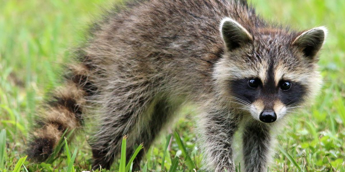 Raccoon tests positive for rabies on Savannah's Southside