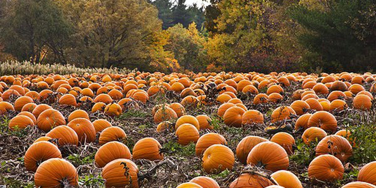 3 pumpkin patches you can visit in the Savannah area